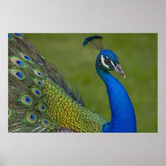 Beautiful Peacock Poster