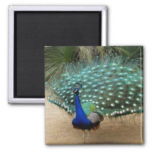 Beautiful Peacock Refrigerator Magnet