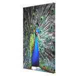Beautiful peacock spreading colorful feathers canvas print