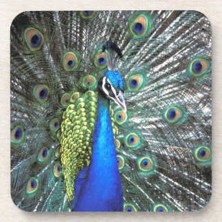 Beautiful peacock spreading colorful feathers coasters