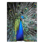 Beautiful peacock spreading colorful feathers postcard