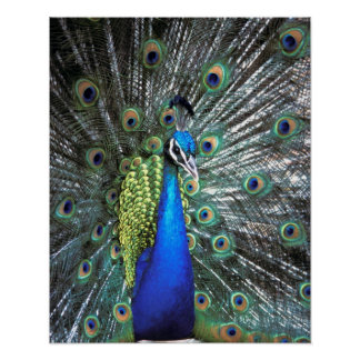 Beautiful peacock spreading colorful feathers poster