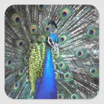 Beautiful peacock spreading colorful feathers square sticker