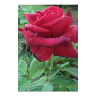 Beautiful Photo Print of a Red Rose with Raindrops