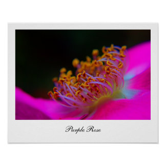 Beautiful Photography of a Purple Rose Poster