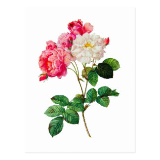 Beautiful Pink and White Roses by Redoute Postcard