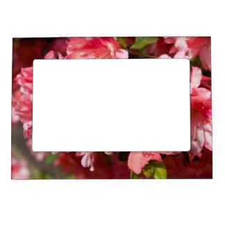 Beautiful Pink Azaleas Magnetic Photo Frame