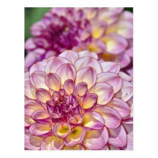Beautiful pink dahlia flowers postcard