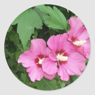 Beautiful pink flowers Rose of Sharon Classic Round Sticker