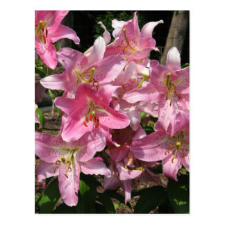 Beautiful Pink Lilies Postcard