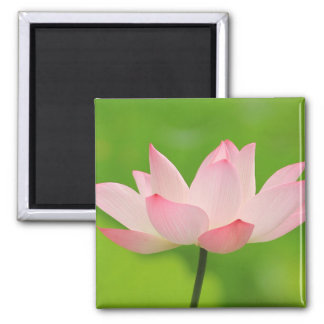 Beautiful pink lotus flower 2 inch square magnet