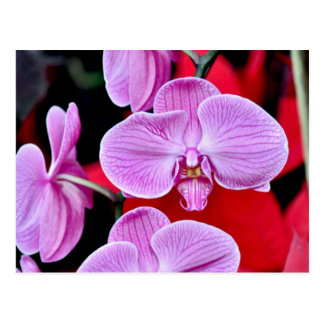Beautiful pink moth orchids post card