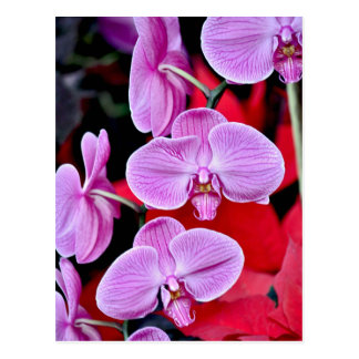 Beautiful pink moth orchids post cards