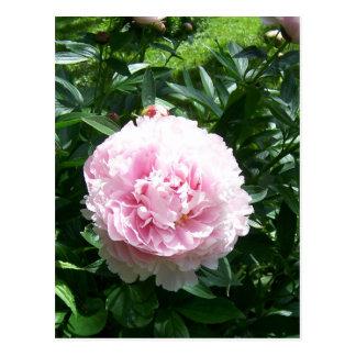 Beautiful pink peony flowers postcard