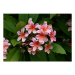 Beautiful pink Plumeria flower Poster