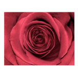 Beautiful Pink Rose Flower Floral Photo Post Cards
