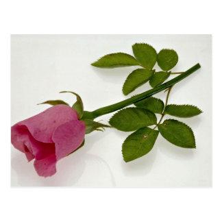 Beautiful Pink rose Postcard