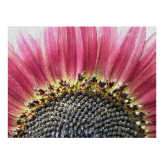 Beautiful Pink Sunflower Print