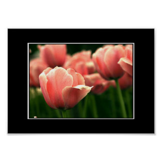 Beautiful Pink Tulip Poster! (with border) Poster