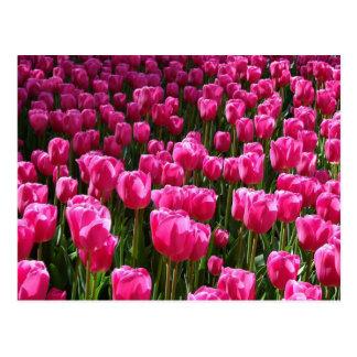 Beautiful Pink Tulips Postcard