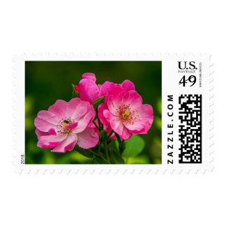 Beautiful pink wild rose postage stamp