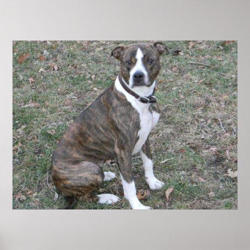beautiful_pitbull_boxer_mixed_breed_mutt_print