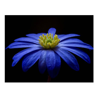 Beautiful Pretty Blue Flower on Black Postcard