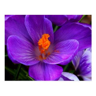 Beautiful Purple Tulip Flowers Postcard