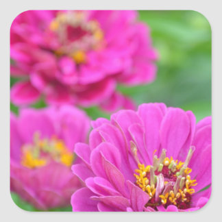 Beautiful purple zinnia flower print square sticker