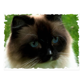 Beautiful Ragdoll Cat Post Cards