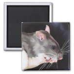 Beautiful Rat Painting 2 Inch Square Magnet