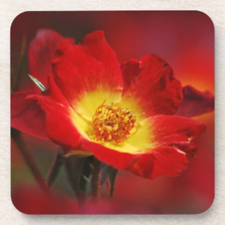 Beautiful red and yellow rose coaster