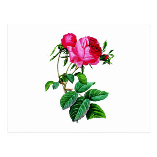 Beautiful Red Cabbage Roses by Redoute Postcard