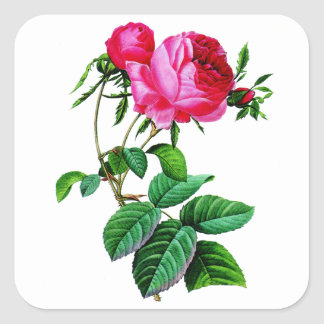Beautiful Red Cabbage Roses by Redoute Square Sticker