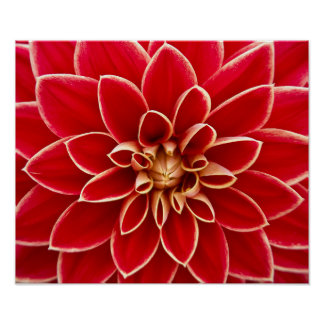 Beautiful red dahlia poster