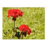 Beautiful red flowers postcard