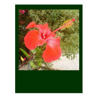 Beautiful Red Hibiscus Flower With Garden Backgrou Postcard
