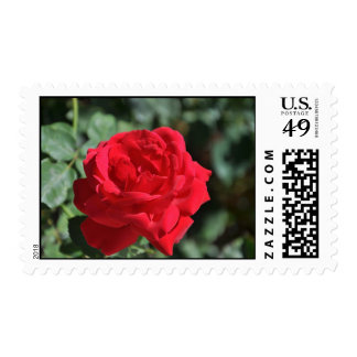 Beautiful red rose postage stamp