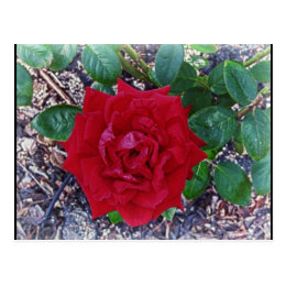 Beautiful Red Rose Postcard