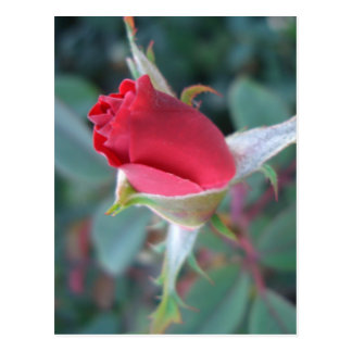 Beautiful Red Rosebud CricketDiane Roses Postcard