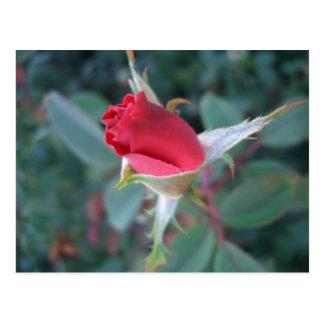 Beautiful Red Rosebud CricketDiane Roses Postcard