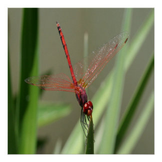Beautiful Red Skimmer or Firecracker Dragonfly Poster