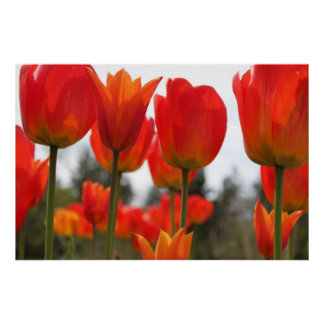 Beautiful Red Tulip Flowers. Poster
