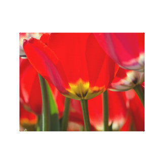 Beautiful red Tulips,Blossoms,Garden,flower bunch Canvas Print