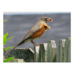 Beautiful Robin Eating Lunch Posters