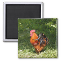 Beautiful Rooster Magnet