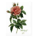 Beautiful Rose Post Cards