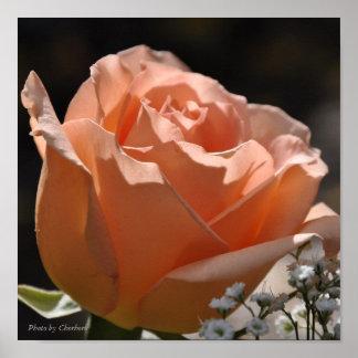 Beautiful Rose Poster