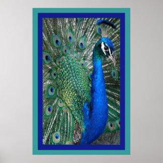 Beautiful Royal Peacock Photo Poster