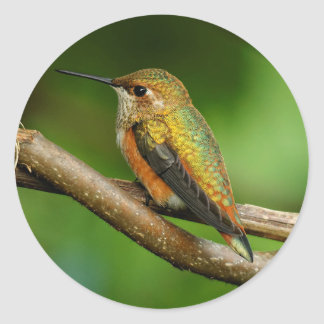 Beautiful Rufous Hummingbird on Twining Vines Classic Round Sticker